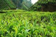 پیش بینی تولید۱۱۰هزارتن برگ سبز چای/۶۶ درصد مطالبات پرداخت شد
